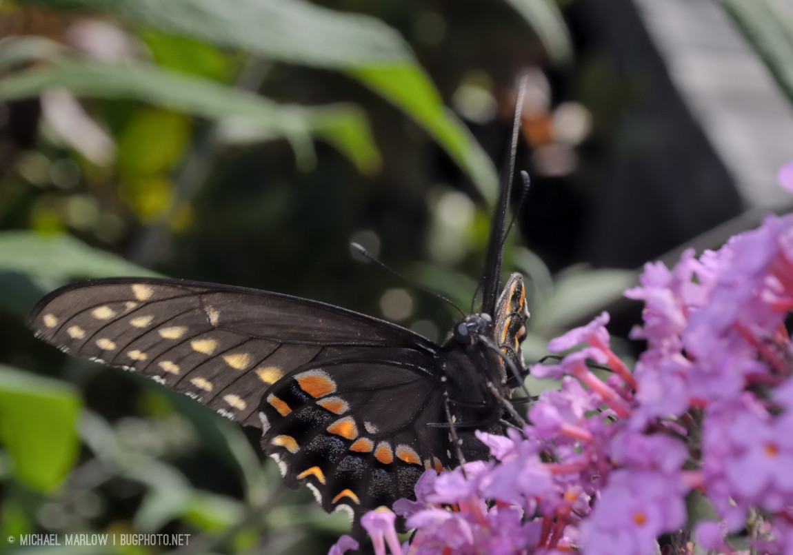 large black butterfly feeding on a cluster of  small purplish-pink flowers