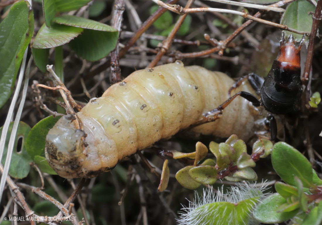 red-tipped abdoment of beetle in air over outstretched belly up caterpillar