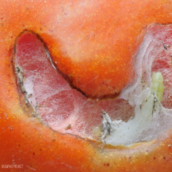 raised fibrous structure on tomato skin with small end of caterpillar sticking out