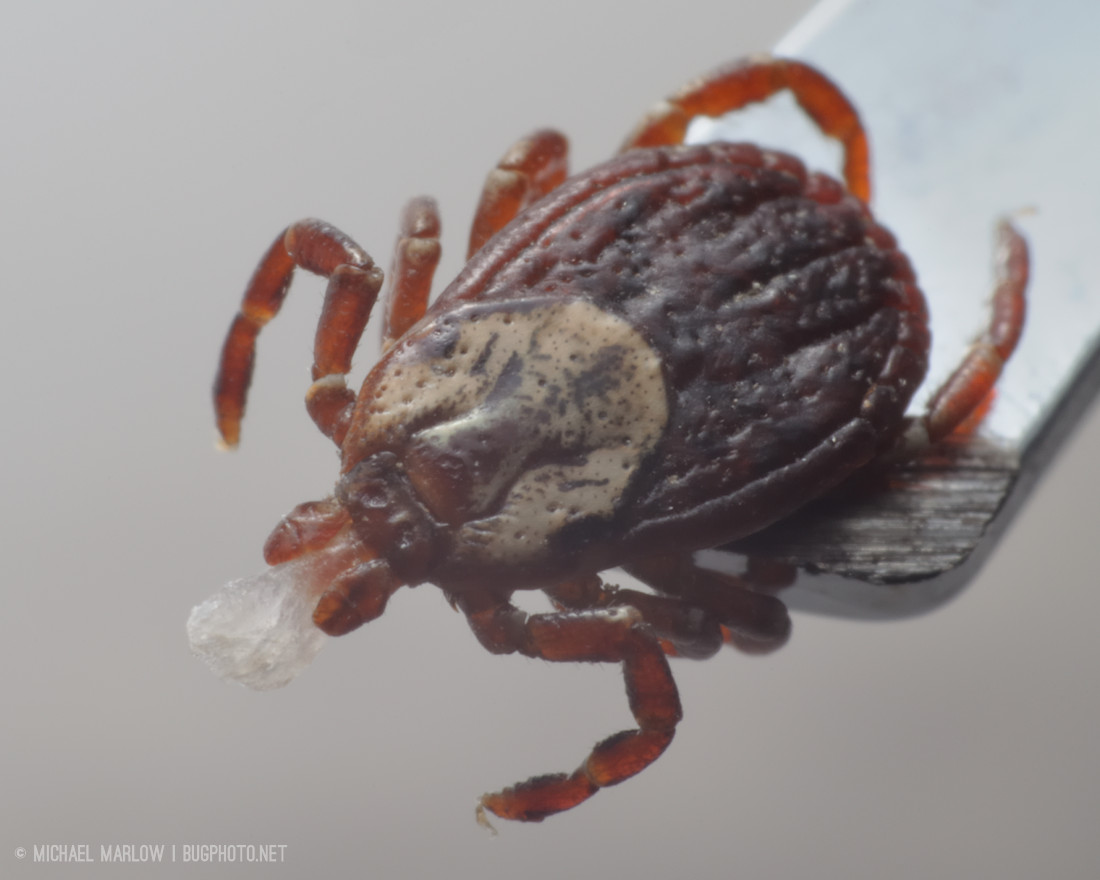 dog tick with cream and red-brown colored body on end of a shiny tweezer