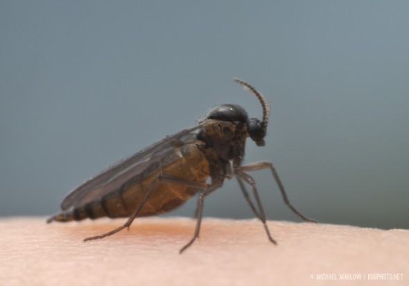 gravid fungus gnat on human skin
