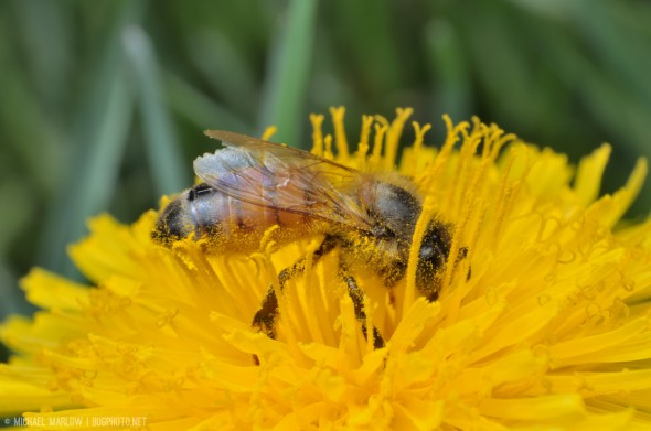 honey bee with undersized covered in yellow pollen feeds inside layers of bright yellow flower