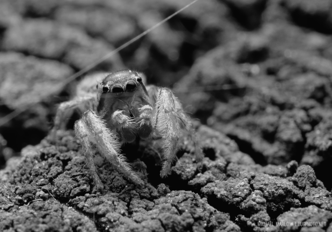 jumping spider on grainy textured cracked wood behind a couple of strands of spider silk