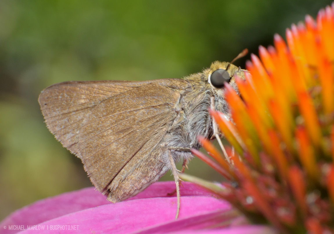skipper standing on pink petals with head at spikes