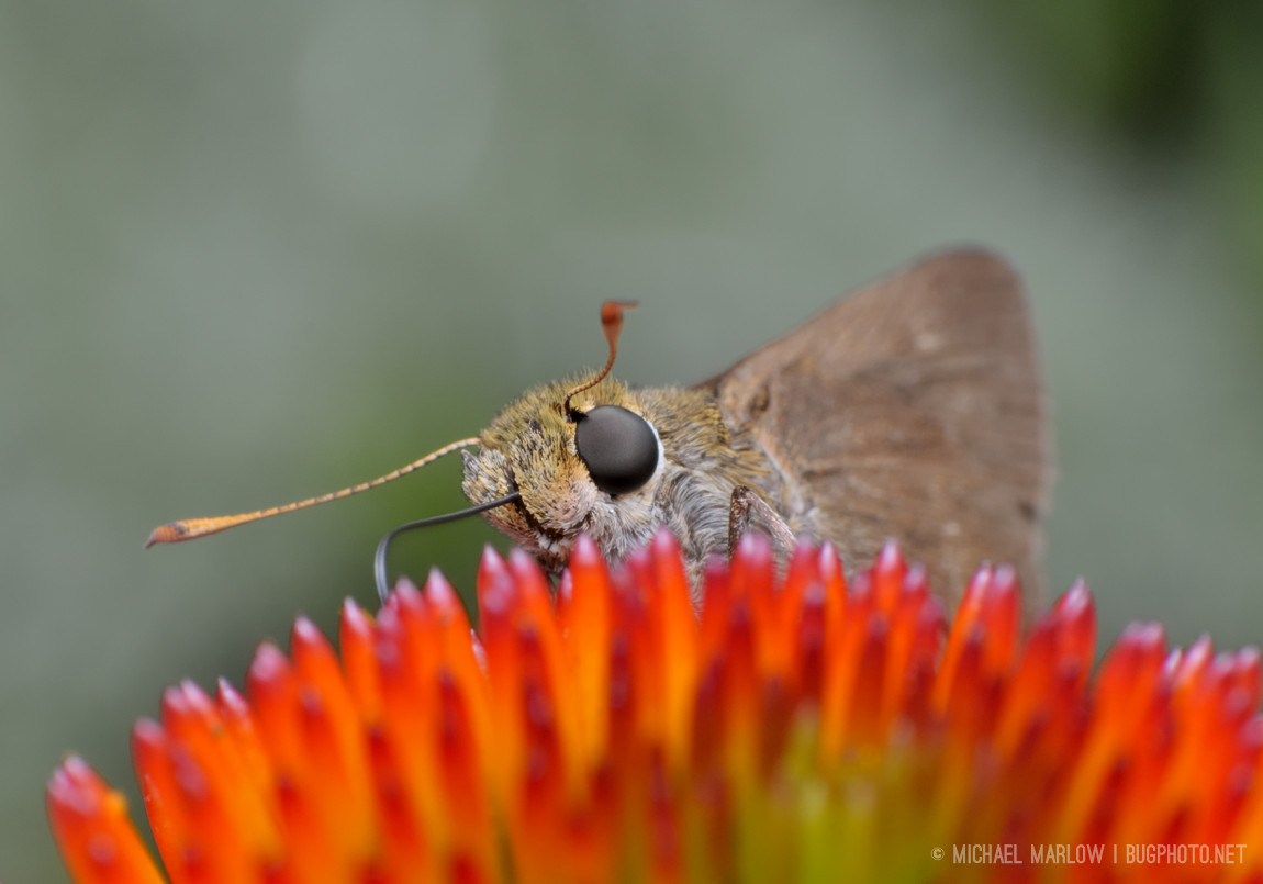 skipper butterfly head rising over spikes of cone flower