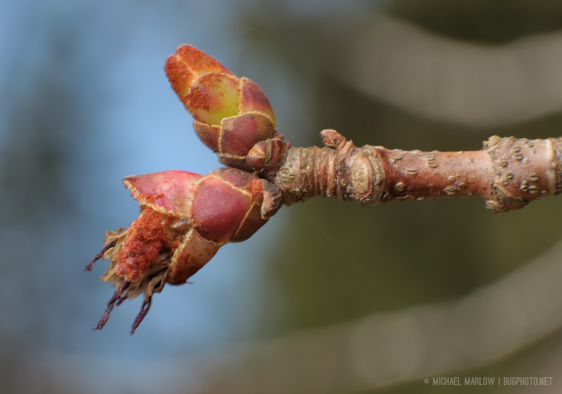 maple species buds, one opening