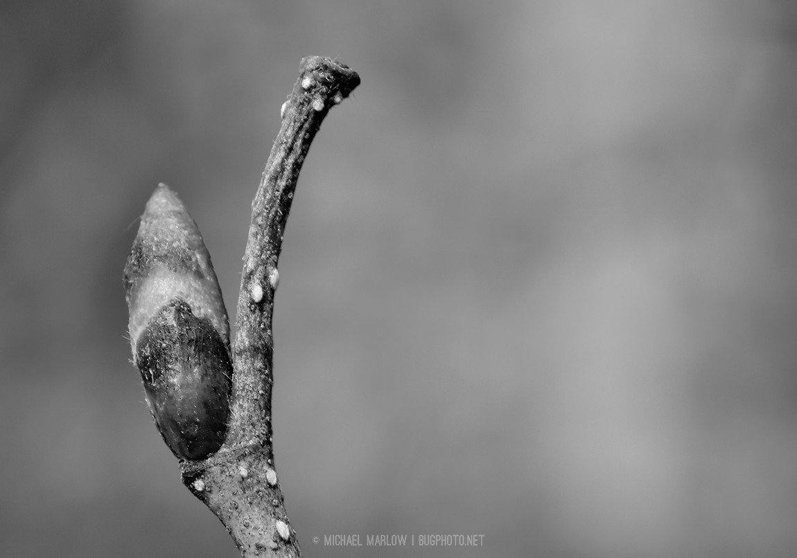 Unidentified bud (black and white version)