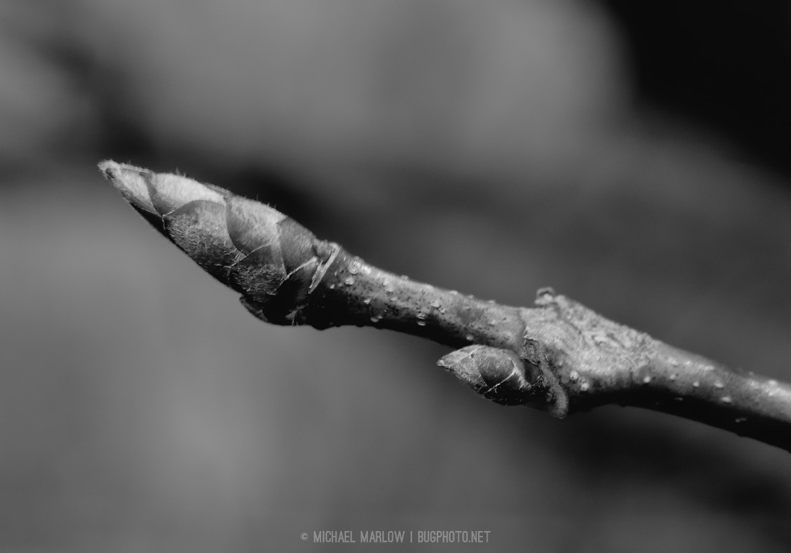 Sugar maple bud (black and white version)