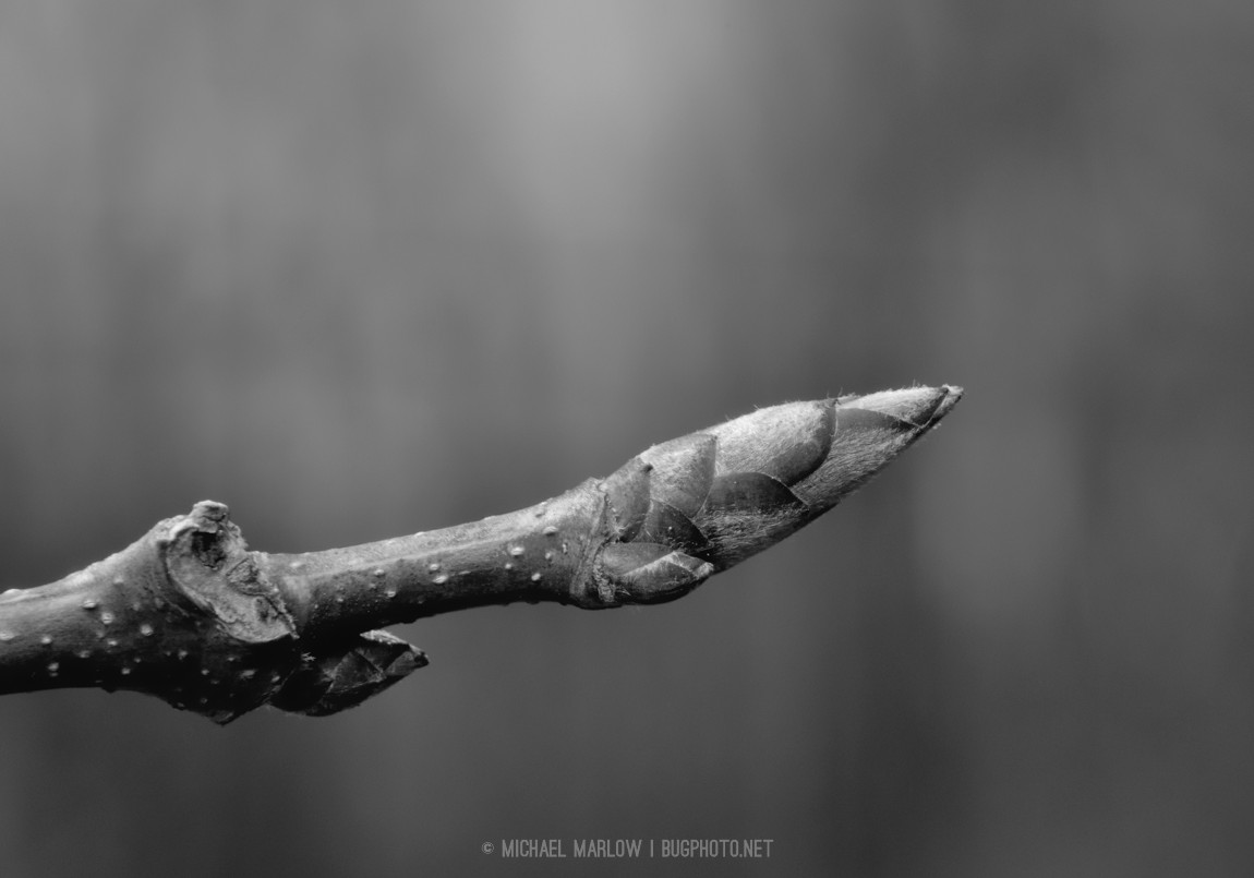 Sugar maple bud (black and white version)