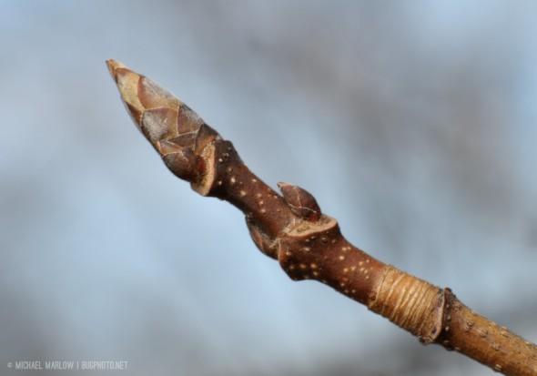 Sugar maple bud