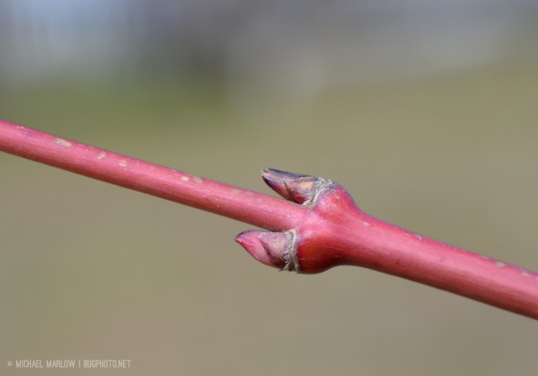 Unidentified buds