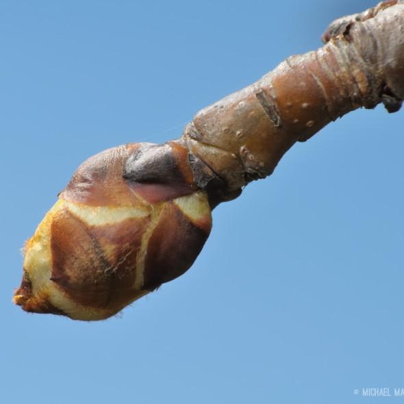 Pear bud