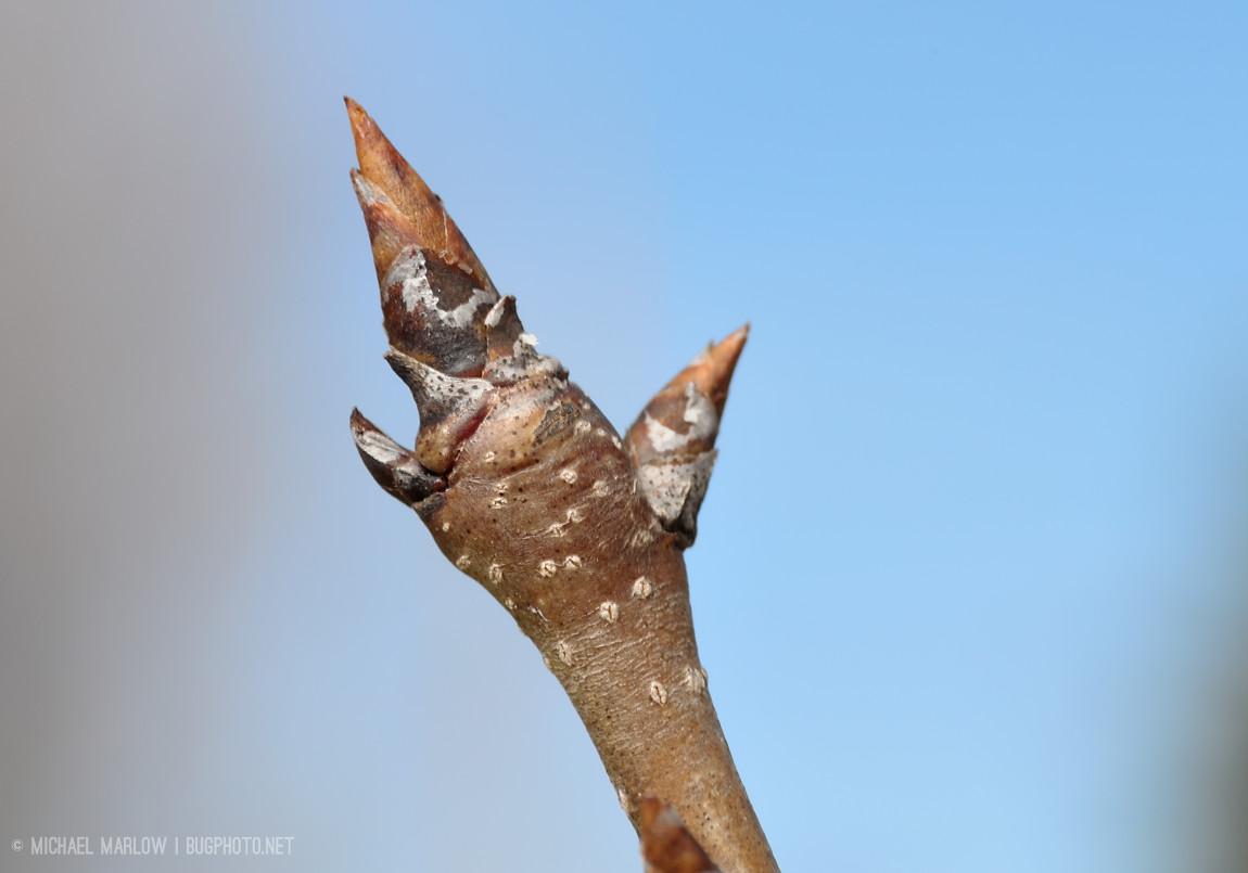 Sugar maple buds
