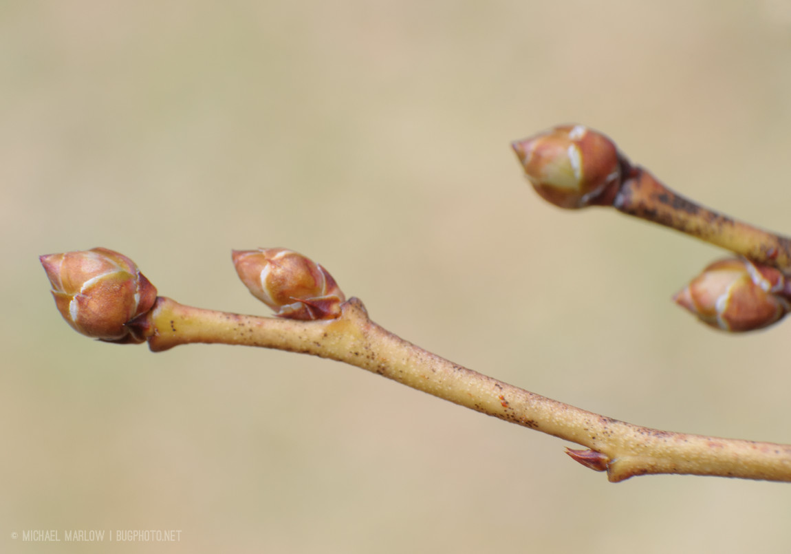yew buds
