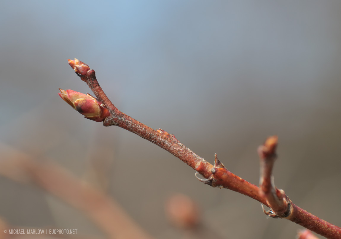 Crab apple buds