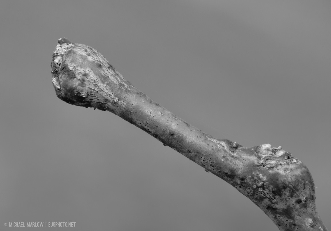 Yew twig; no bud, possibly with fungus (black and white version)