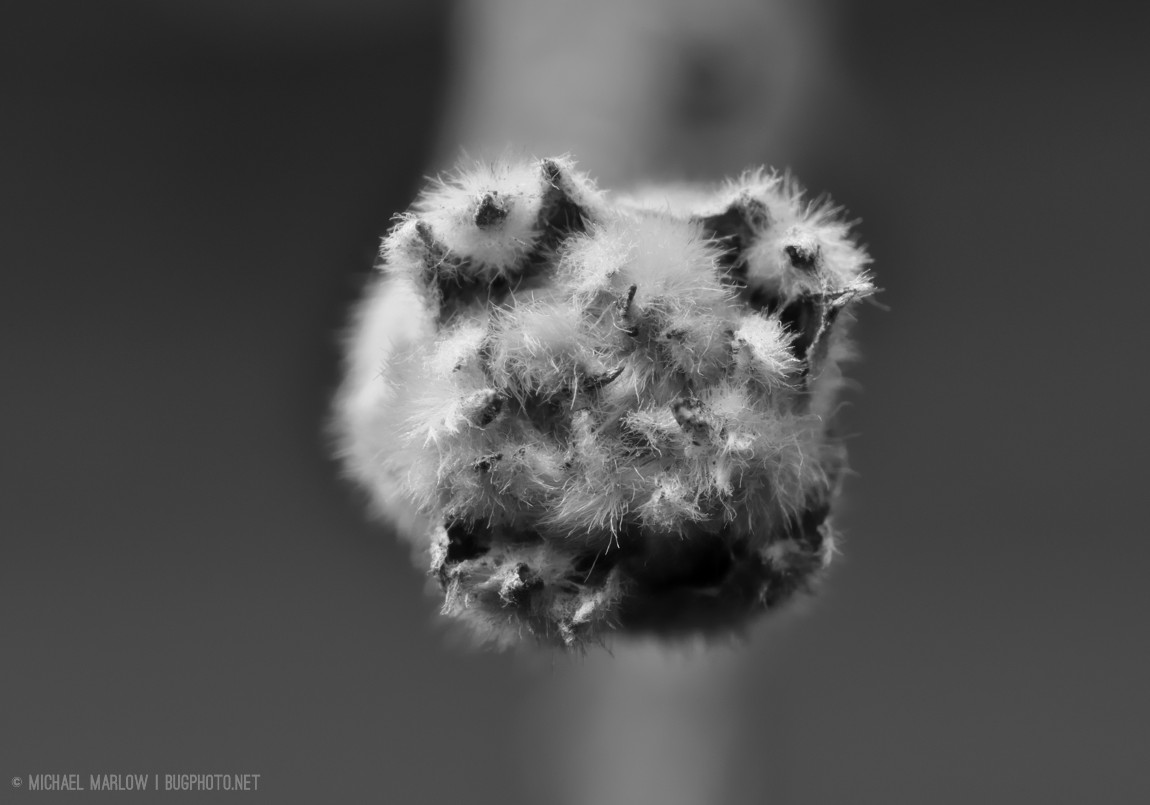 Fuzzy apple bud (black and white version)