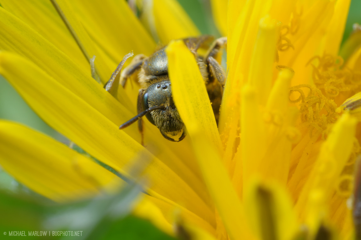 A small solitary bee (perhaps a miner bee) sits inside a yellow dandelion flower, facing forward, one of the petals obscuring half of its face. (In black and white)