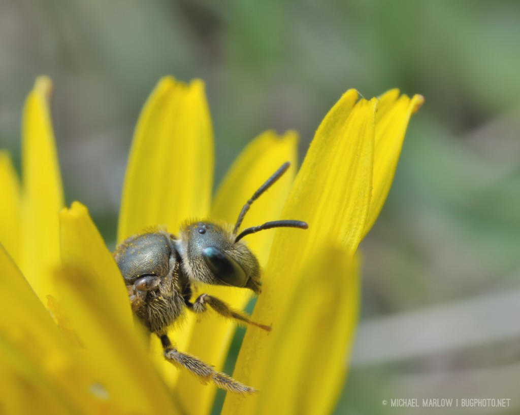 fuzzy small bee with spotted, green eyes in a dandelion