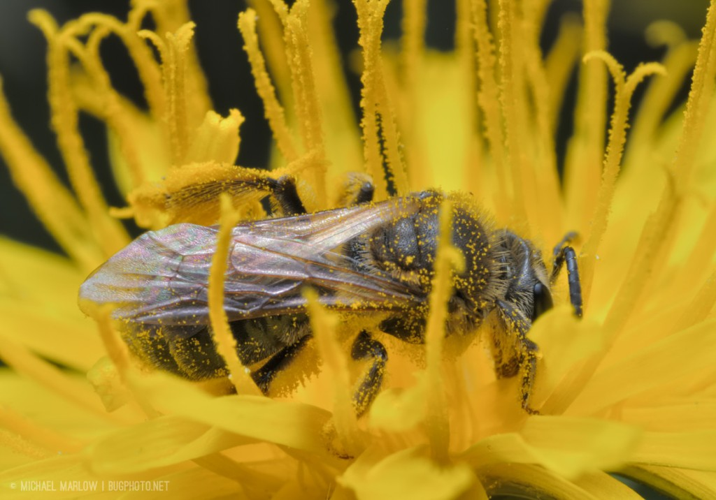 A bee covered in pollen in the middle of a dandelion's florets