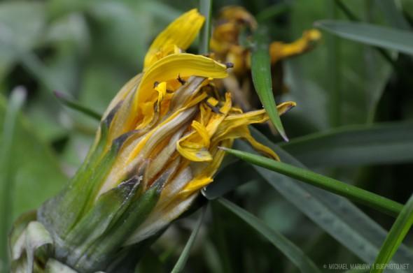 unopened crumpled dandelion flower head amidst blades of grass