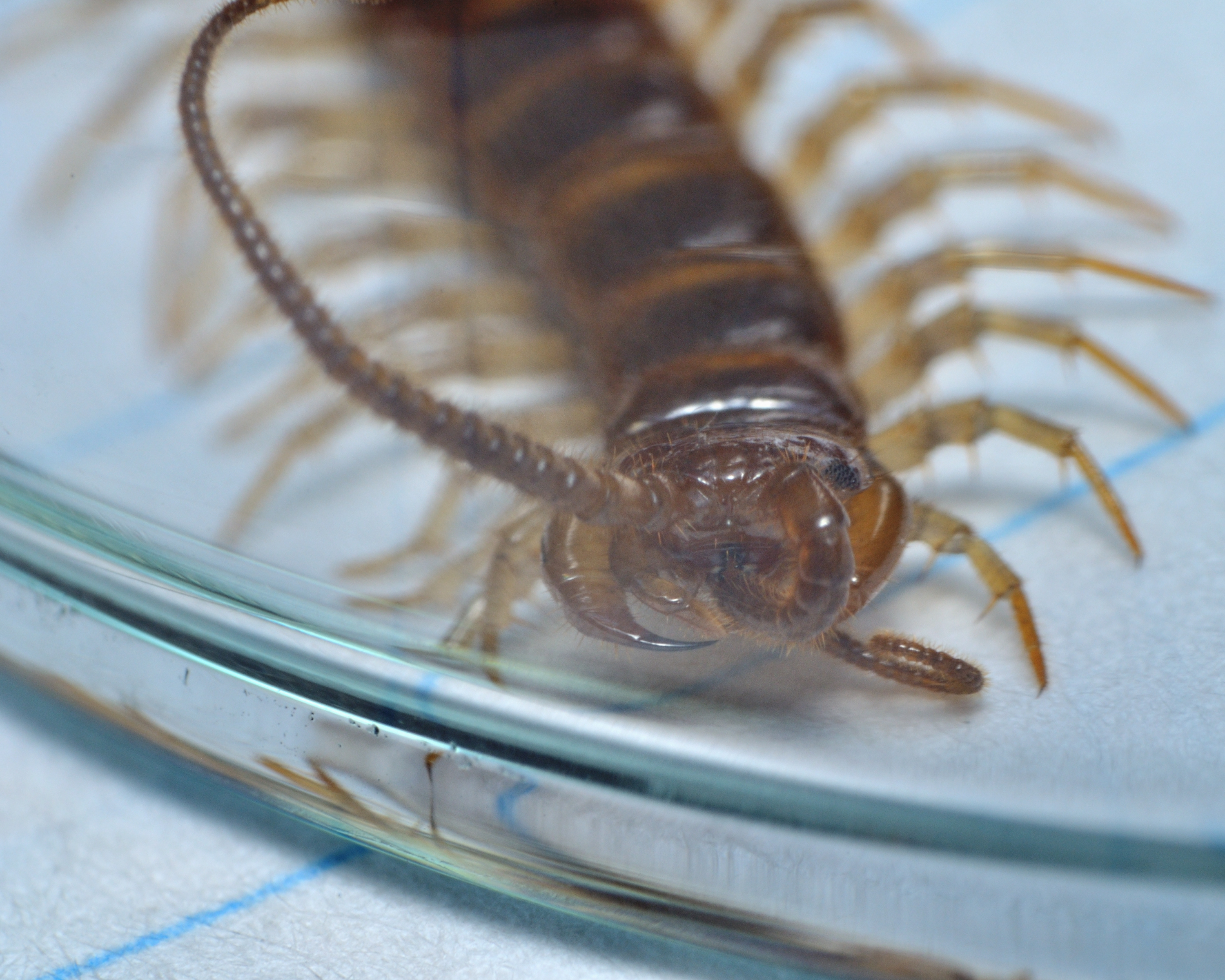 A centipede is trapped under a drinking glass, resting on an index card with blue line running underneath it. The centipede has one antenna contorted between its mandibles, perhaps cleaning itself.