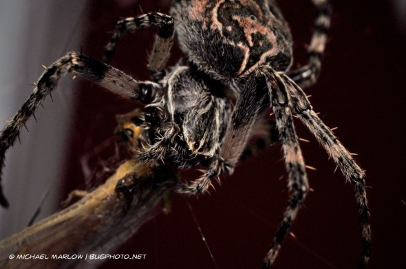large orbweaver spider missing one of its forelegs feeds on an insect