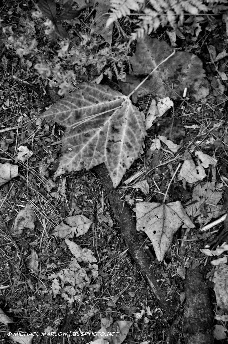 Brightly veined fallen leaf on ground amidst brown and decaying leaves and some roots. (black and white version)