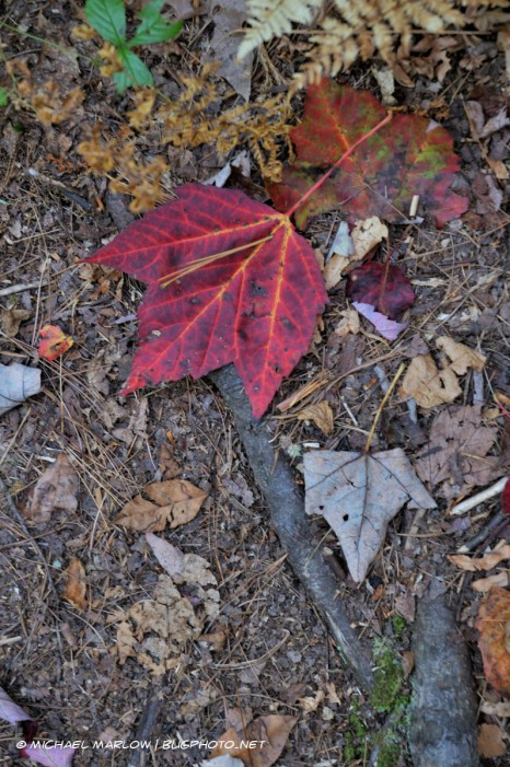 Brightly veined fallen leaf on ground amidst brown and decaying leaves and some roots.