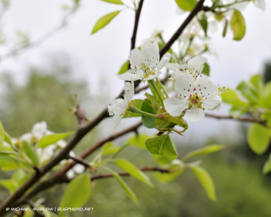 Pear blossoms with branches and overcast sky in the background
