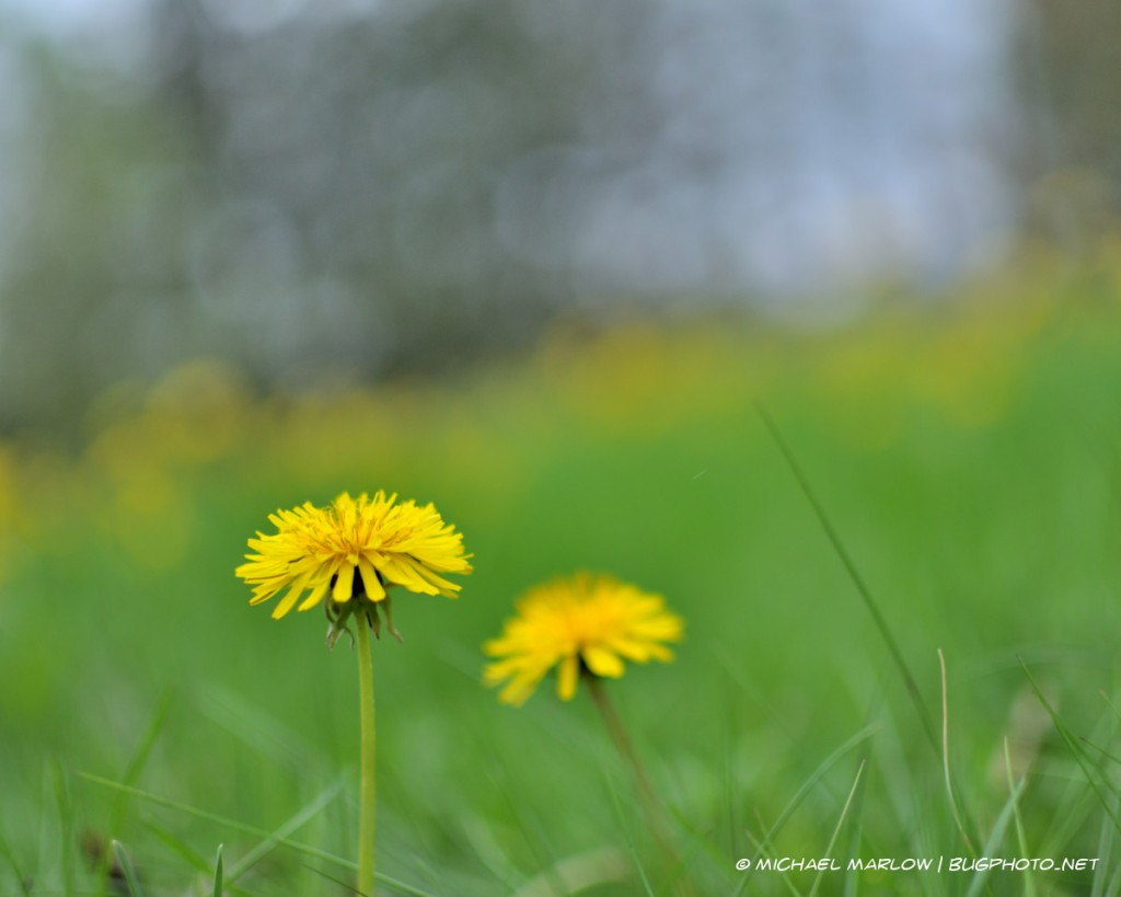 one dandelion in front of another blurred dandelion with yellow bokeh line in background