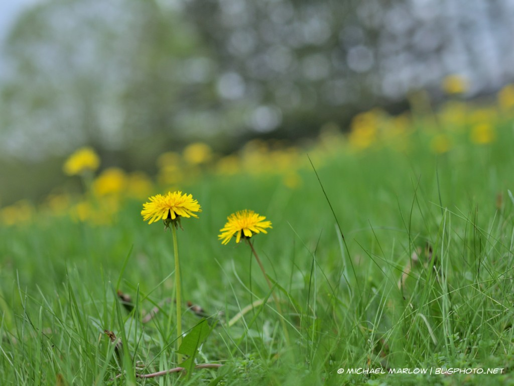 two dandelions stand in the green grass with a yellow bokeh line in background