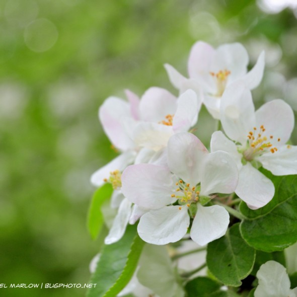 cluster of white apple blossoms with leaves partially visible below