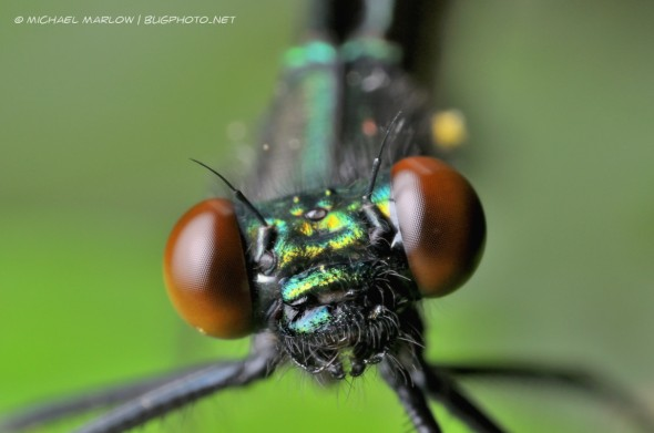 super close up of metallic head and reddish-brown compound eyes of an ebony jewelwing