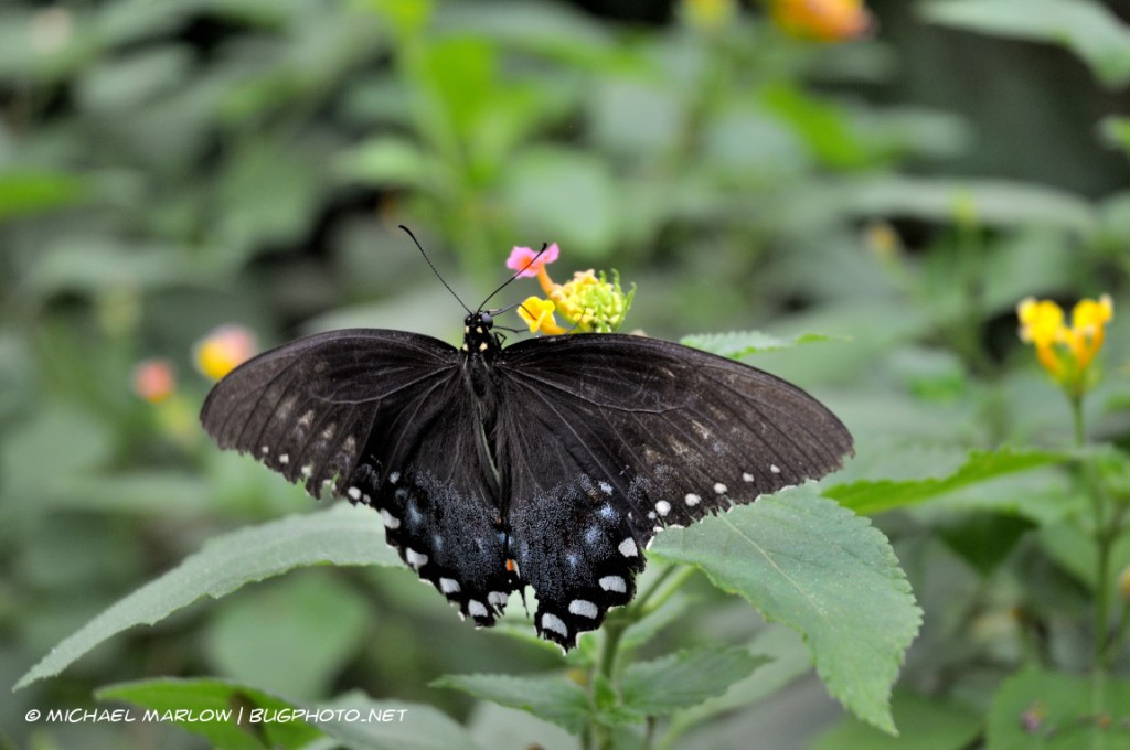 large black butterfly with winfs spread feeding on a flower