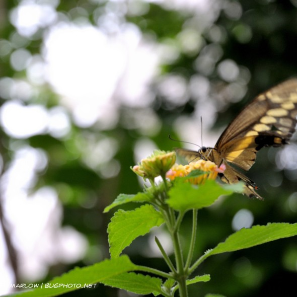 black and yellow butterfly hovering over flower while feeding