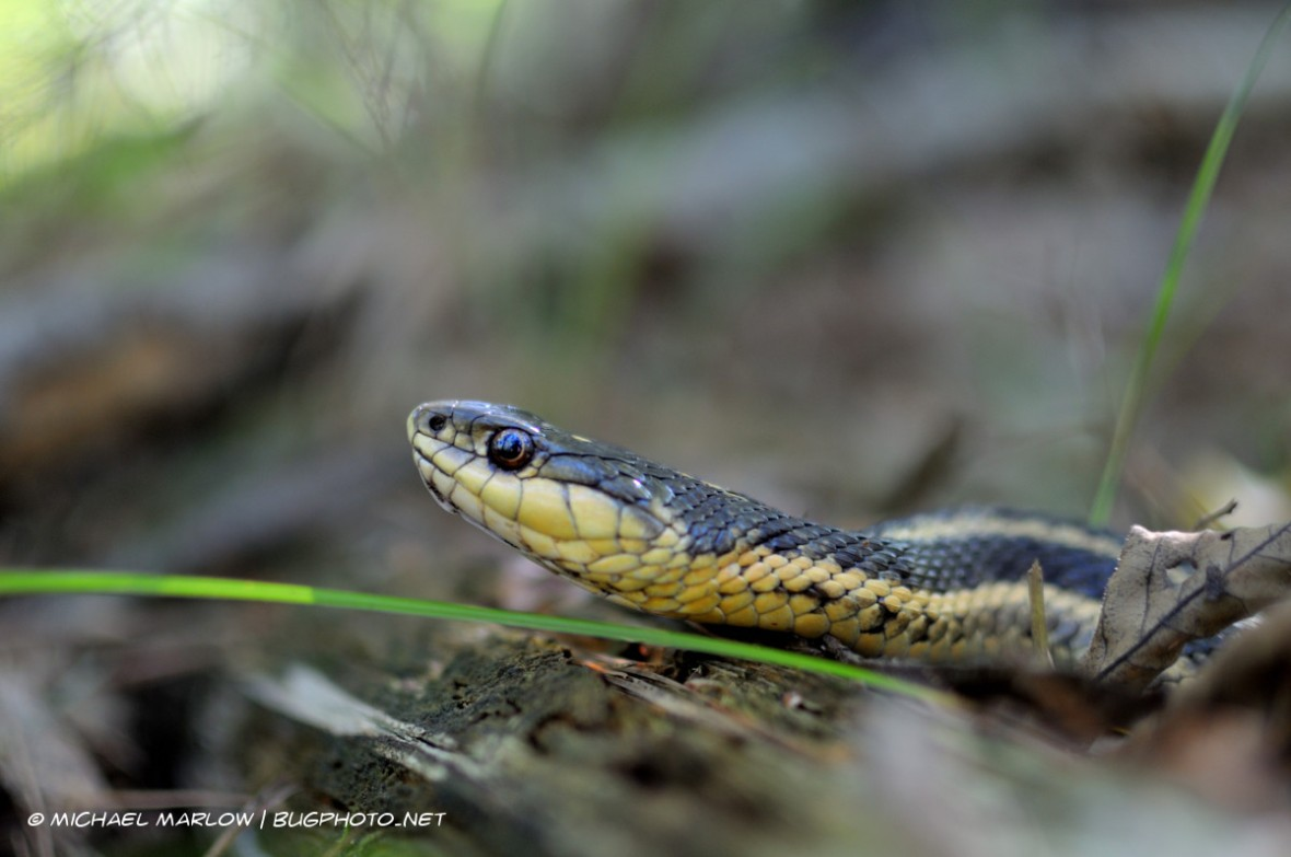 A garter snake rests on the forest floor almost underlined by a single blade of green grass with its head, its eye reflecting light.