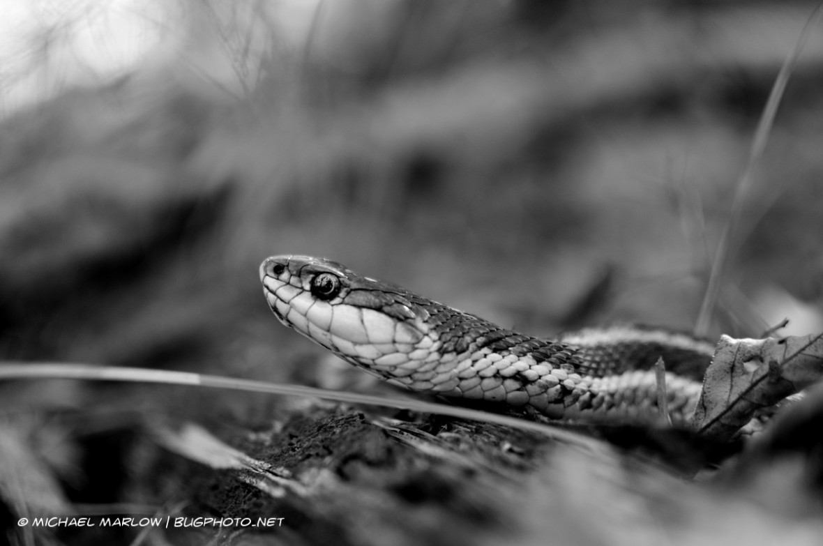 A garter snake rests on the forest floor almost underlined by a single blade of green grass with its head, its eye reflecting light. (Black and white version)