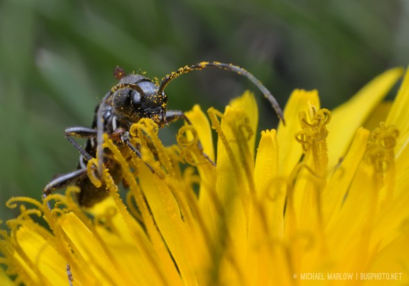 head on view of black ant-mimic beetle with brown mites with yellow pollen on its antennae