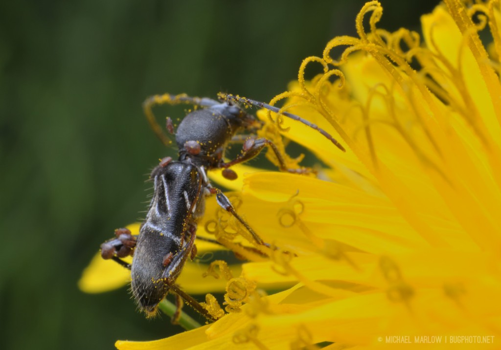 View of ant-mimic beetle on dandelion showing some of the white adbominal markings