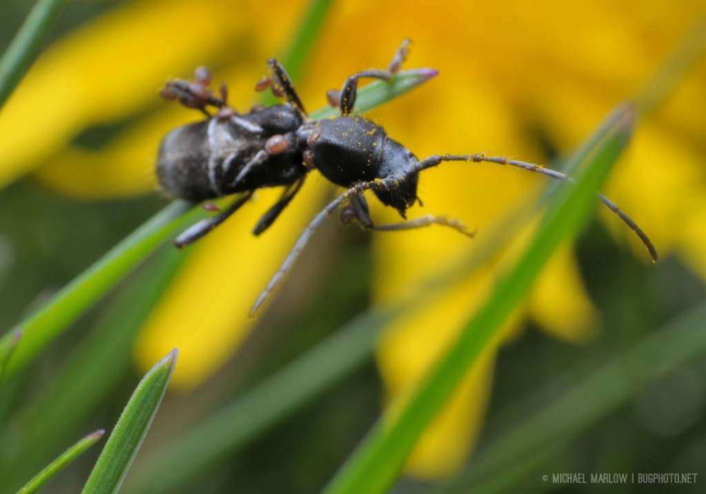 Longhorn ant-mimic viewed from above, half on a blade of grass with dandelion in the background