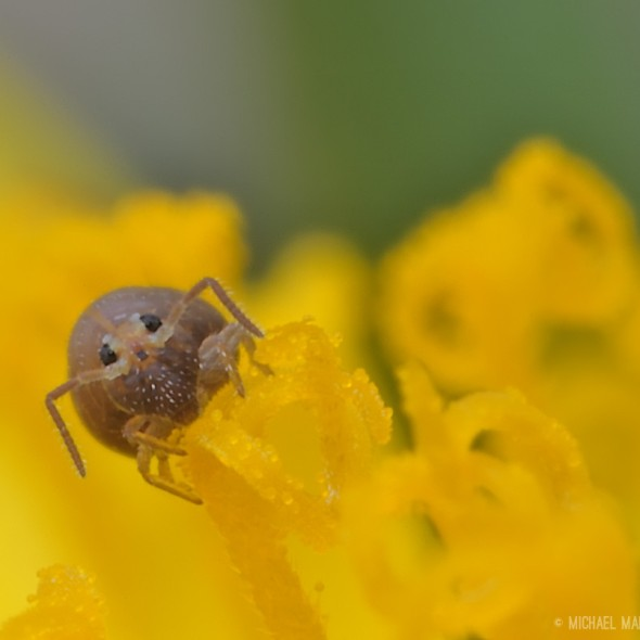 springtail eating pollen on a dandelion; face on to the camera