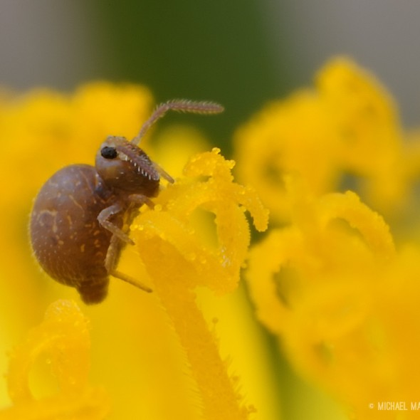 springtail hanging on a dandelion floret which is covered in bits of pollen