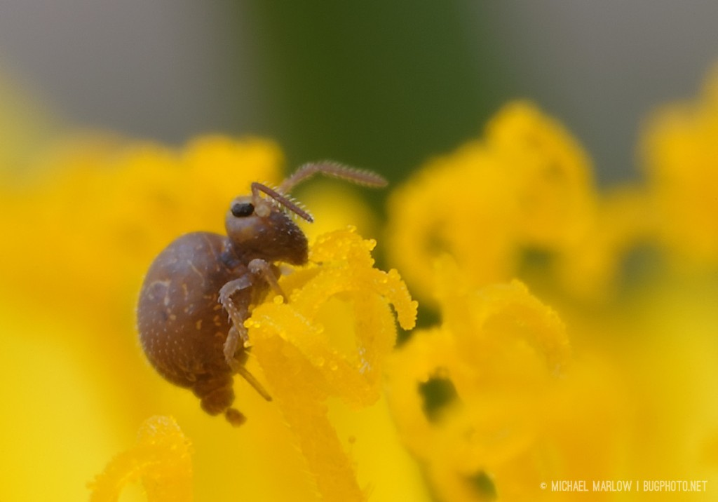 springtail perched on dandelion floret antennae held apart with frass coming