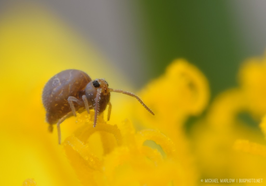 springtail climbing over a dandelion floret with frass still hangjng