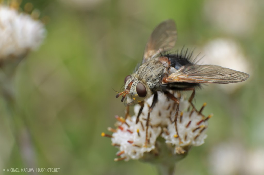 spiky-haired tachinid fly with black abdomen on small weed flower
