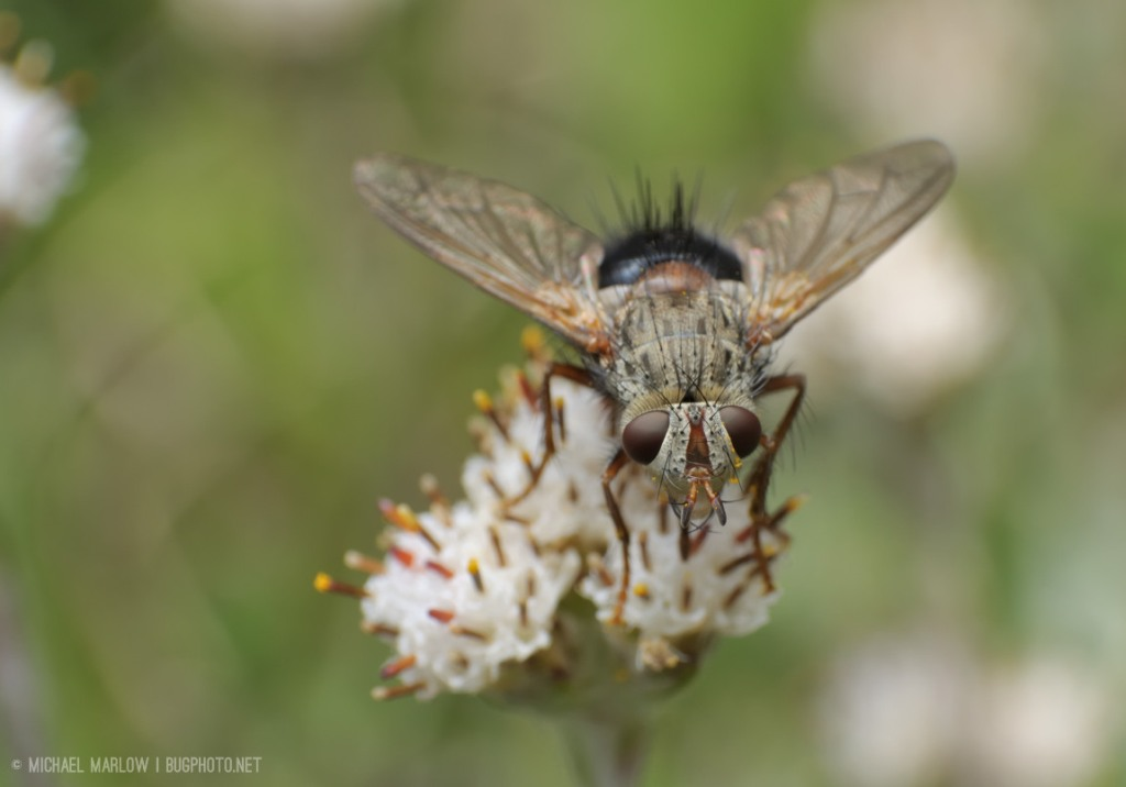 spiky-haired tachinid fly with black abdomen on small weed flower facing towards camera