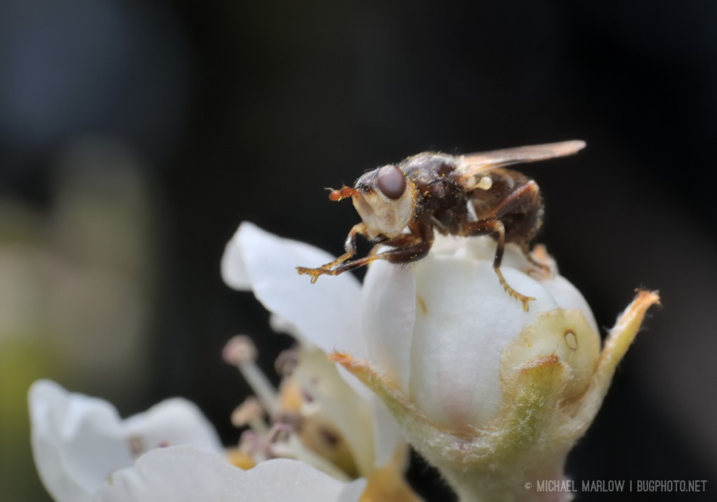 fly with legs held straight out while sitting newly opening pear flower