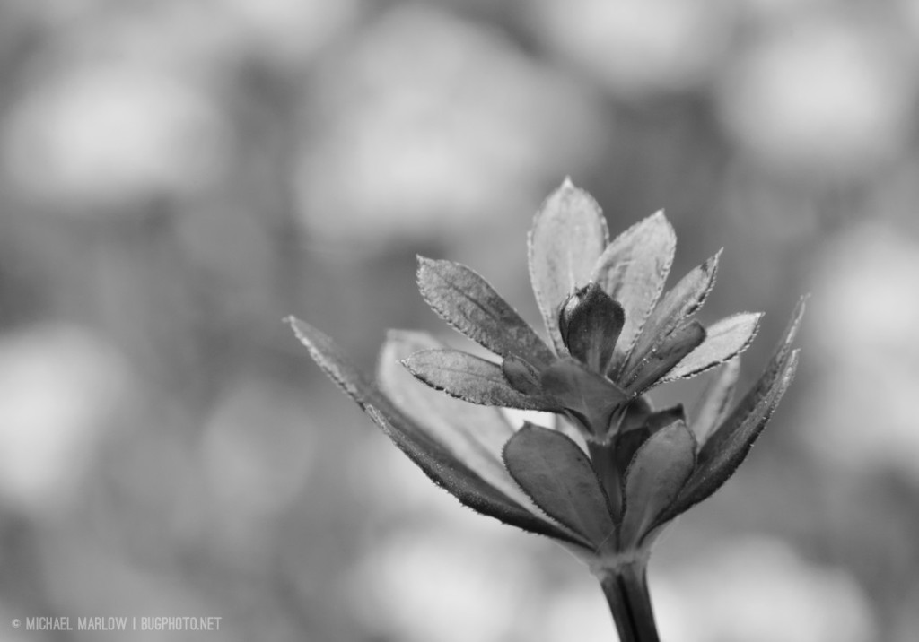 a multi-leafed weed in front of bokeh clouds of white weed flowers