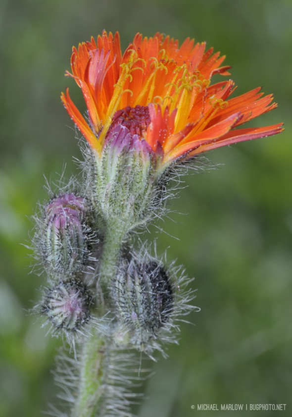 orange petaled weed flower with hairy stems and buds